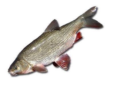 рыба фото язь